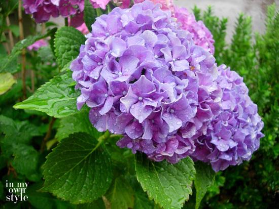 Make-hydrangeas-pink-and-purple