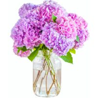 Free printable photo of pink hydrangeas in a glass jar.