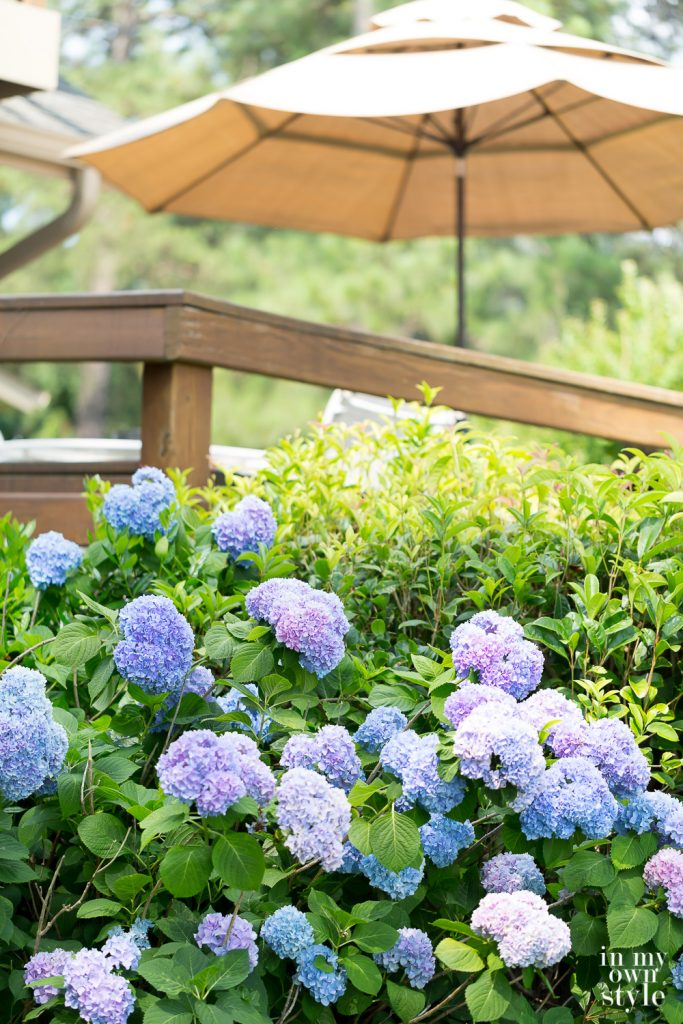 Blue and purple hydrangeas in a yard
