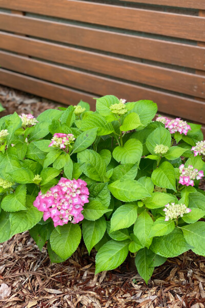Pink hydrangeas planted against a wood slat wall.